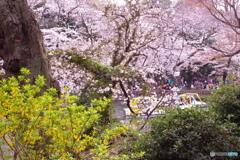 桜とレンギョウ 2