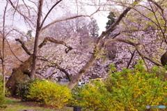 桜とレンギョウ 1