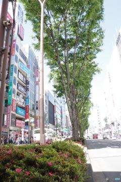 立川北口駅前の新緑とツツジ