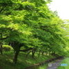 武蔵野公園 新緑のもみじ並木