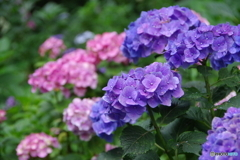 雨あがりの紫陽花4