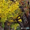 谷保第三公園 銀杏と桜の紅葉トンネル