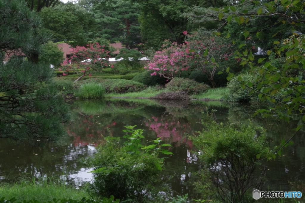 神代植物公園のサルスベリと池3