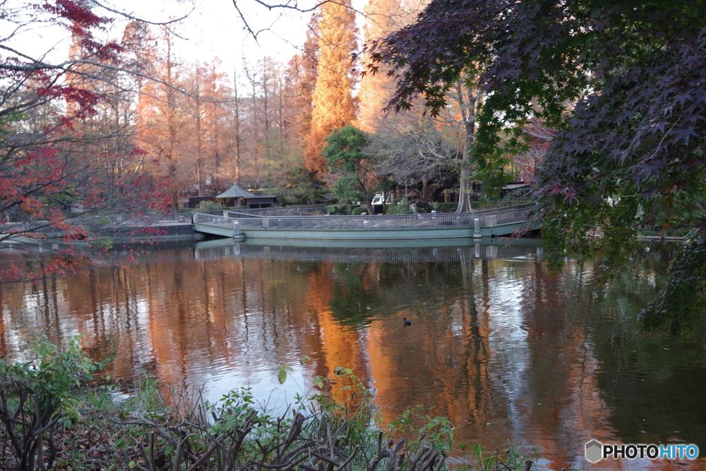 池と夕暮れのメタセコイア
