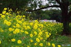 昭和記念公園のレモンブライト1