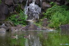 水鏡の中の新緑と鴨と滝