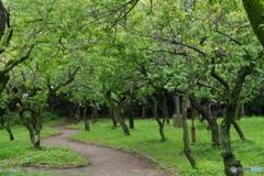 雨あがりの新緑の梅園.2