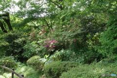 新緑の薬師池公園とツツジ
