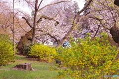桜とレンギョウ 3