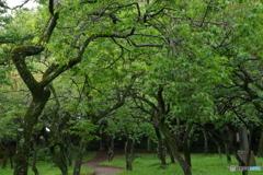 雨あがりの新緑の梅園.3