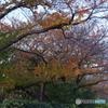 紅葉の桜木