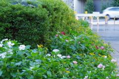 武蔵国分寺公園の花壇11