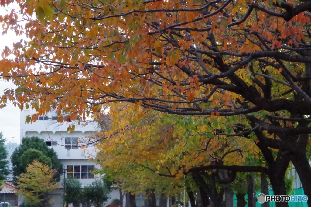 紅葉さくら並木と谷保図書館