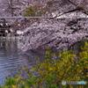 桜とレンギョウと池