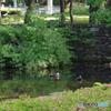 新緑の府中の森公園の池
