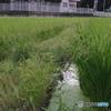八月の稲3