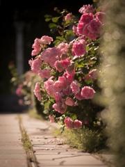 棘なき薔薇