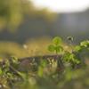 三つ葉のクローバー