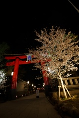 夜の富岡八幡と桜