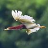アカガシラサギの飛翔