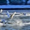 白鳥たち15