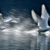 白鳥情景10
