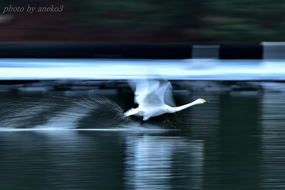 白鳥たち12