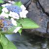 涼し気な紫陽花
