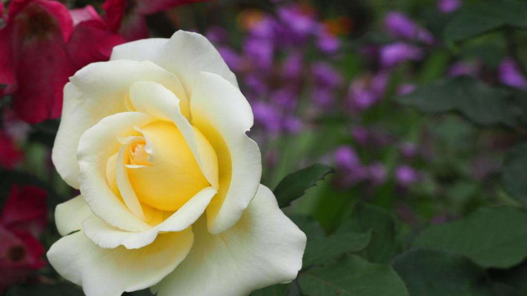 薔薇 その2