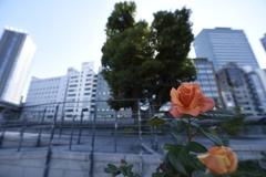 都会の薔薇