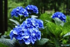 鮮青紫陽花