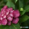 赤色紫陽花
