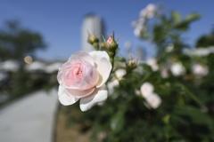 中之島薔薇園