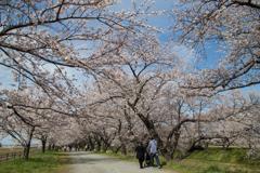 舟川の桜並木