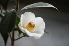 鉢植え椿;西王母