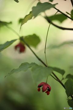 ツリバナの赤い実2
