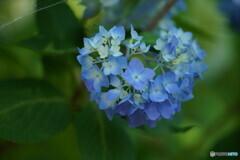 紫陽花 ややハート