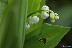 スズランの葉