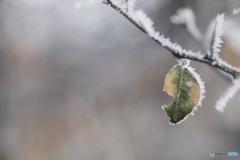 カラタチの葉凍る