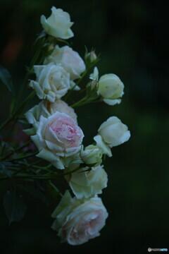 薔薇;ピエール・ド・ロンサール