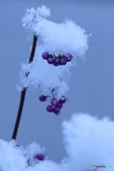 紫の実に雪2