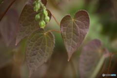 イカリソウの葉っぱ