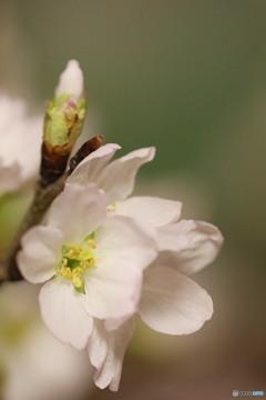 室咲きの桜