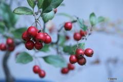 カマツカの赤い実