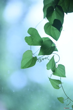 長芋の葉っぱ