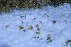 雪に銀杏散る