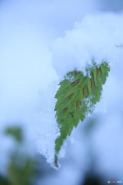 残った葉に雪がつもる2