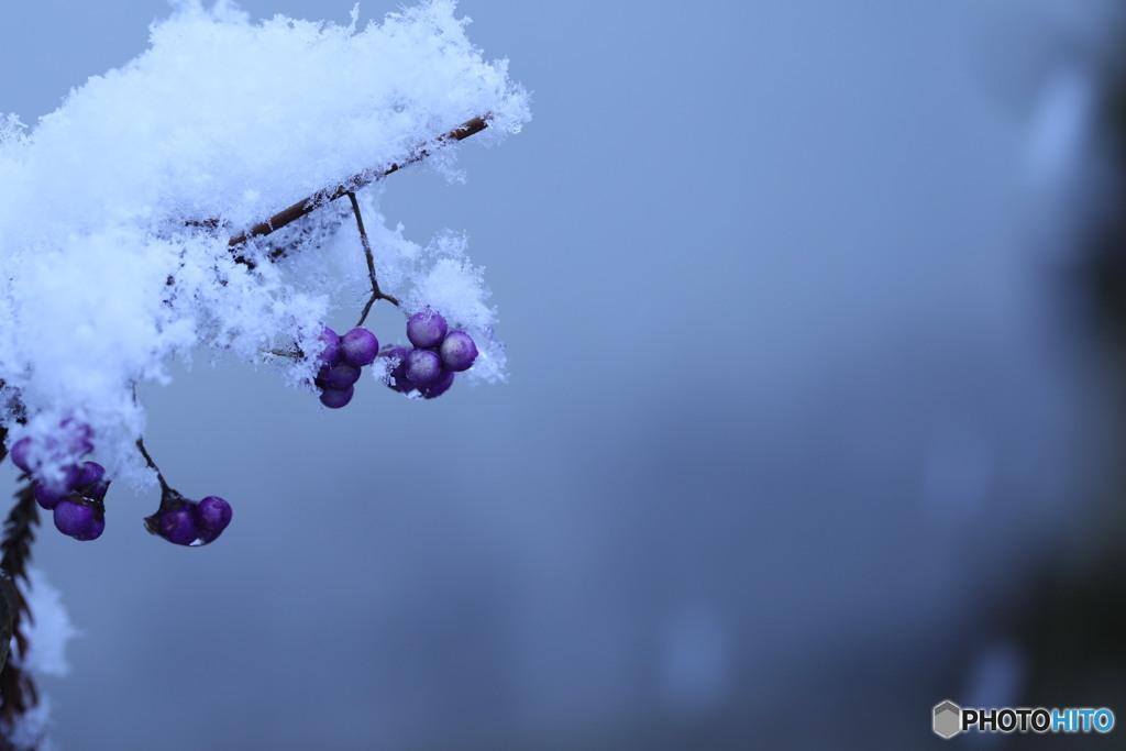 紫の実に雪3