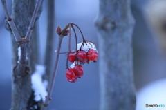 フウリンガマズミの実にも雪