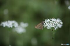 ニラの花にセセリチョウ